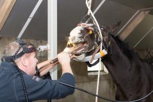 paard bij tandarts